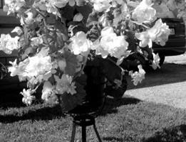 Greznās begonijas